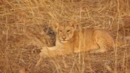 Sleepy African Lion Cub