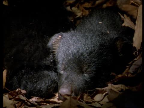 Sleepy American black bear cub with blue eyes lies in leafy den