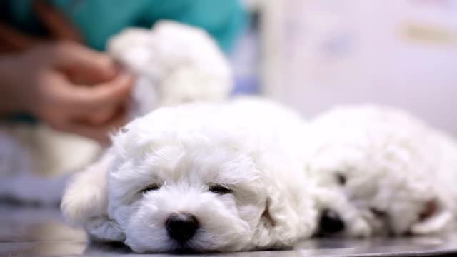 Sleepy bichon puppy in vet's office
