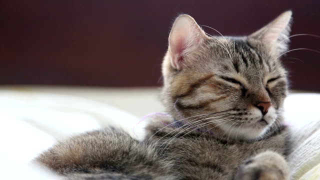 vídeos y material grabado en eventos de stock de sleepy cat - gris