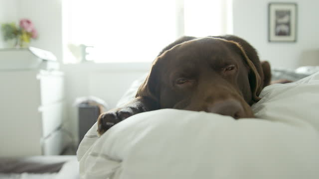 sleepy chocolate labrador on owners bed - relaxation stock videos & royalty-free footage