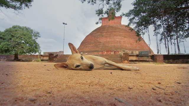 vídeos y material grabado en eventos de stock de ms sleepy dog in front of jetavanaramaya stupa where part of sash tied by buddha is believed to be enshrined / anuradhapura, north central province, sri lanka - templo