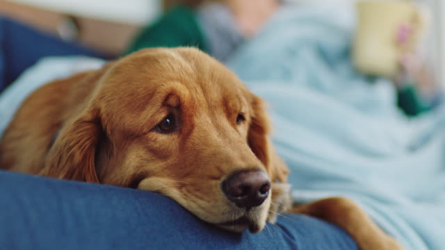 vidéos et rushes de cu. sleepy dog lays under blanket beside young woman drinking coffee on outdoor patio couch. - chien