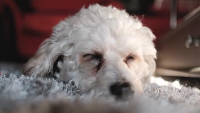Sleepy dog on cozy carpet