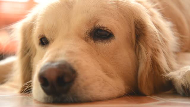 sleepy face golden retriever dog - hd 25 fps stock videos & royalty-free footage