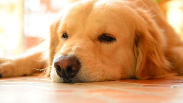 vídeos de stock e filmes b-roll de sleepy cara golden retriever cão - retriever