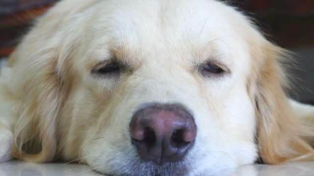 stockvideo's en b-roll-footage met sleepy golden retriever dog - hd format