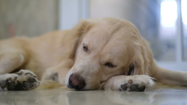 sleepy golden retriever dog - dog hair stock videos and b-roll footage