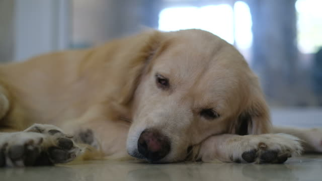 sleepy golden retriever dog - golden retriever stock videos and b-roll footage
