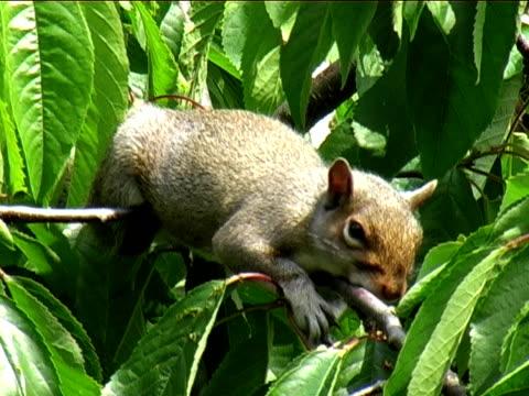 sleepy grey squirrel - grey eyes stock videos & royalty-free footage