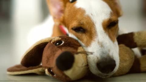 vídeos de stock, filmes e b-roll de cu sonolento jack russel w / boneca favorita - terrier