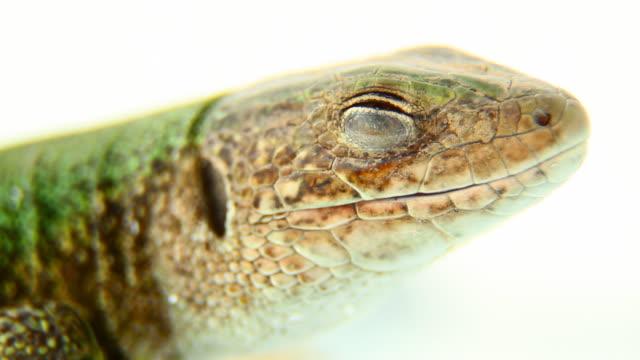 stockvideo's en b-roll-footage met sleepy lizard - macro, hd - reptile