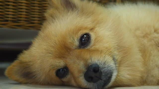 sleepy pomeranian dog - animal ear stock videos & royalty-free footage