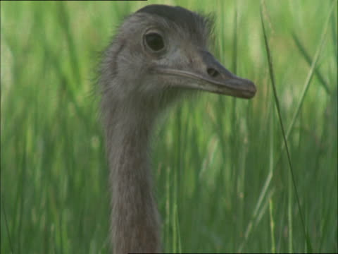 a sleepy rhea looks around before closing its eyes and yawning. - gähnen stock-videos und b-roll-filmmaterial