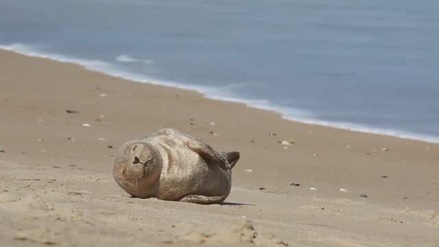 sleepy sunbathing seal pup caught the eye of a local photographer when it was spotted lazily sunbathing on a beach on the outer banks, north... - wilmington north carolina stock videos & royalty-free footage