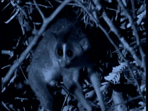 Slender loris peers at camera and freezes, India