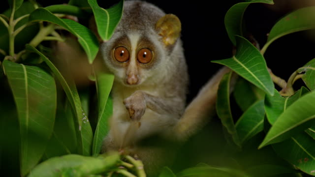 slender loris - animal stock videos & royalty-free footage