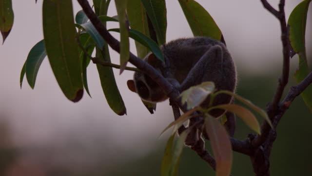 slender loris - biodiversity stock videos & royalty-free footage