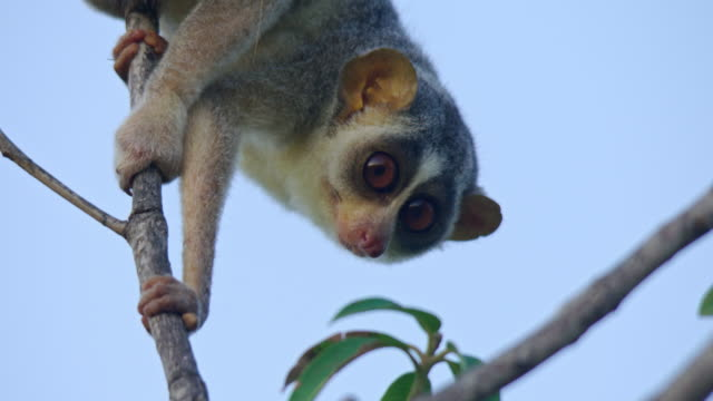 slender loris - endangered species stock videos & royalty-free footage