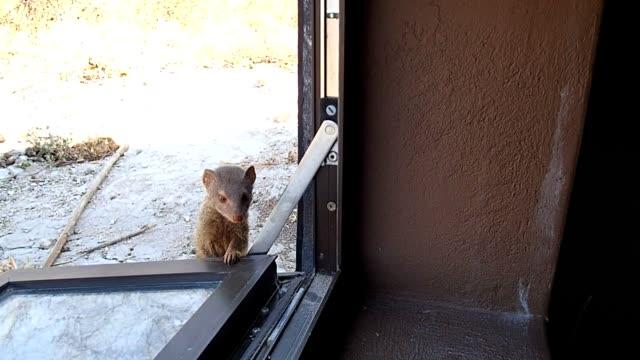 slender mongoose - slim stock videos & royalty-free footage