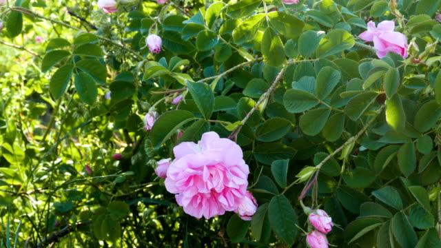 vídeos de stock, filmes e b-roll de movimento deslizante através do campo de petróleo de rosas com perto de flores rosas. - bulgária