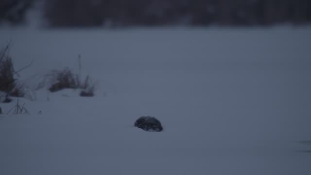 sliding otter - eurasian otter stock videos & royalty-free footage