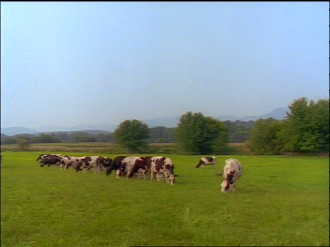 slight pan herd of holstein cows grazing in green field - pasture stock videos & royalty-free footage