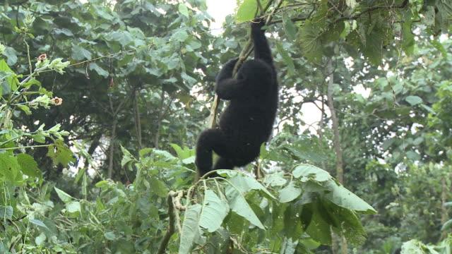 A slim tree branch breaks as a baby gorilla swings from it. Available in HD.