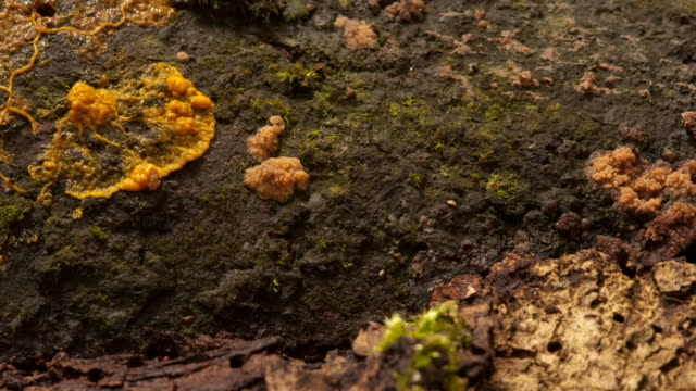 Slime mold pulsates and spreads. Available in HD.