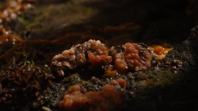 vídeos y material grabado en eventos de stock de slime mould grows on a forest floor. available in hd. - animal microscópico