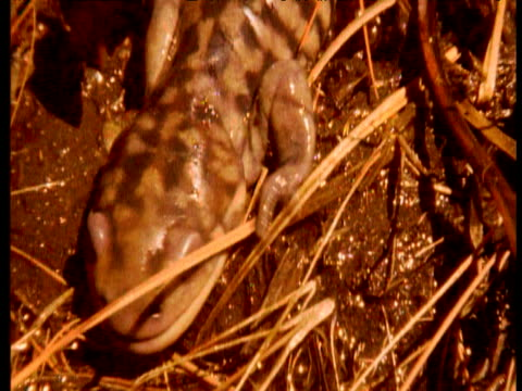 slimy salamander crawling through grasses in muddy pool - getönt stock-videos und b-roll-filmmaterial