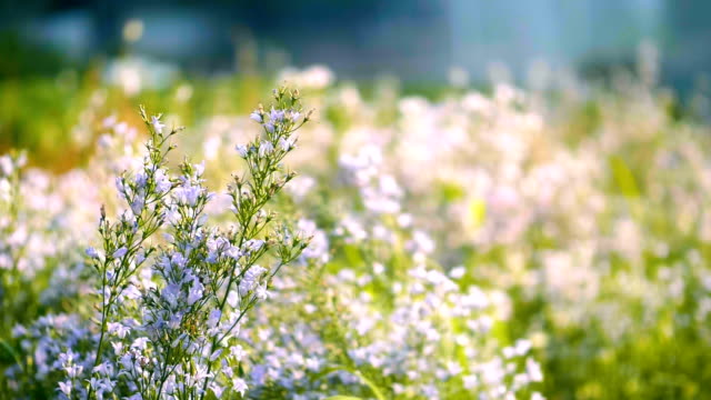 slo mo blossom  : lavender field and  butterfly - erba aromatica video stock e b–roll