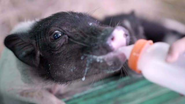 slo mo piggy - piglet stock videos and b-roll footage