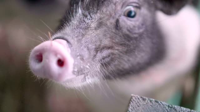 slo mo piggy - pig stock videos and b-roll footage