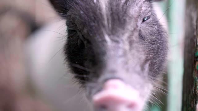 Slo-Mo-Piggy