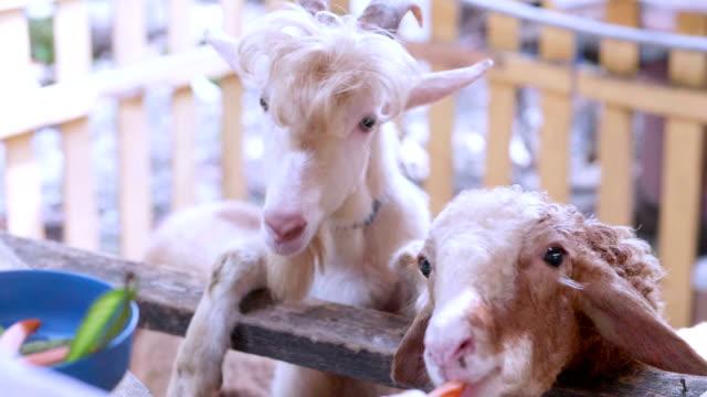 vídeos y material grabado en eventos de stock de slo mo ovejas - oveja merina