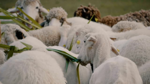 slo mo sheep - merino sheep stock videos & royalty-free footage