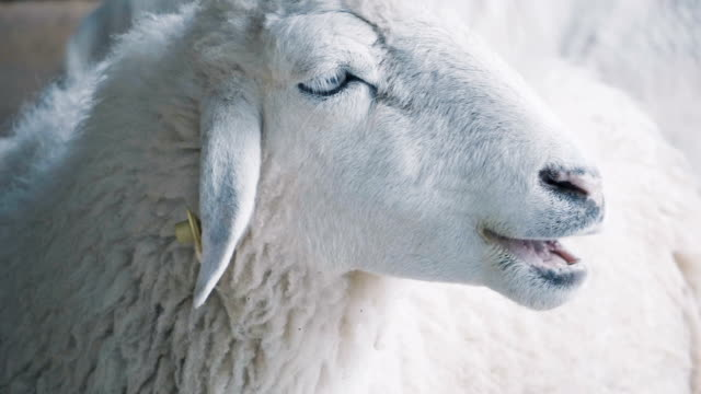 slo mo sheep - sheep stock videos & royalty-free footage