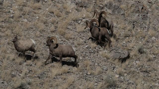 MS/slomo 4K shot of bighorn rams (Ovis canadensis) chasing a ewe during the rut
