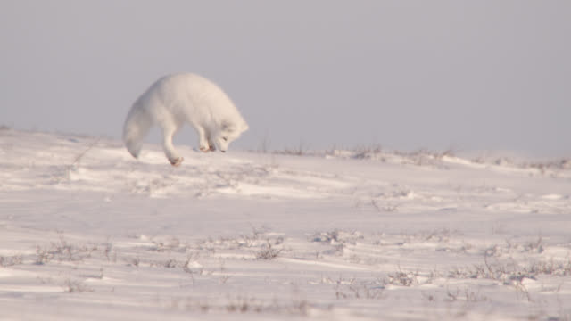 "slomo arctic fox hunts on tundra, canada - ""bbc natural history"" stock videos & royalty-free footage"
