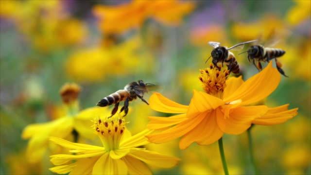 Slomo bijen verzamelen voedsel van gele bloemen dan opstijgen.