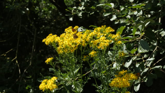 slomo butterflies and bees feed on yellow flowers - wildflower stock videos & royalty-free footage