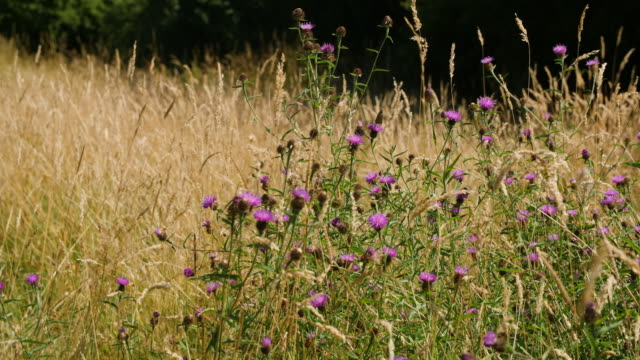 slomo butterfly and other insects feed on thistle flower - wildflower stock videos & royalty-free footage
