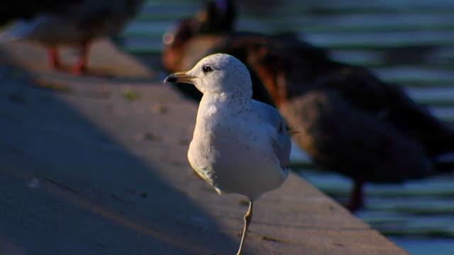 hd slomo kopier one legged gull (720/24p - auf einem bein stock-videos und b-roll-filmmaterial