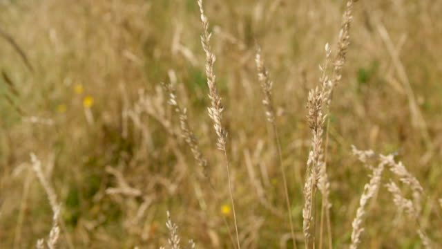 slomo grass seed heads blow in wind - wildflower stock videos and b-roll footage