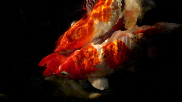 slomo koi carp fish - koi carp stock videos & royalty-free footage