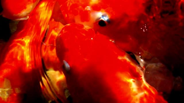 Slomo Koi Carp Fish