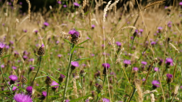 slomo pan around insects feeding on purple thistle flowers - lepidottero video stock e b–roll