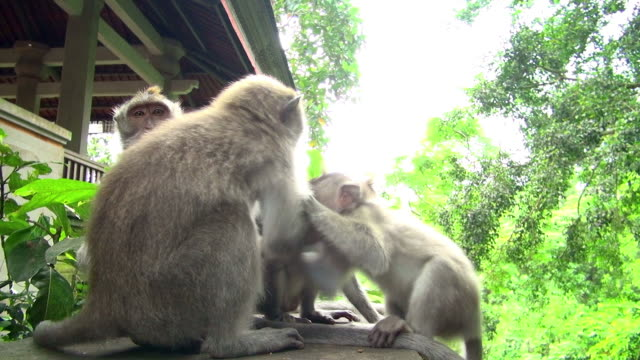 stockvideo's en b-roll-footage met slo-mo shot of monkeys fighting on top of the roof - dierenfamilie