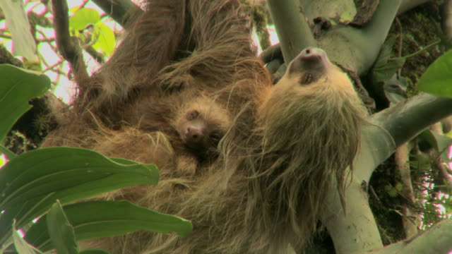 Sloth and young resting in a tree